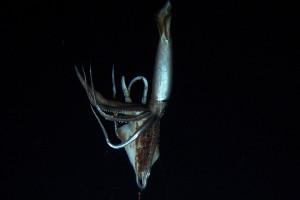 Calamar gigante capturado en video