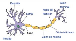 El axón es una prolongación de las neuronas especializadas en conducir el impulso nervioso desde el cuerpo celular o soma hacia otra célula. En la neurona adulta se trata de una prolongación única. (Créditos: Wikipedia)
