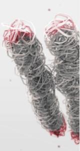 Imagen conceptual de los telómeros (rojo), los extremos protectores de nuestros cromosomas, que se  reducen a medida que envejecemos.